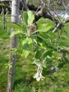 リンゴつぼみ